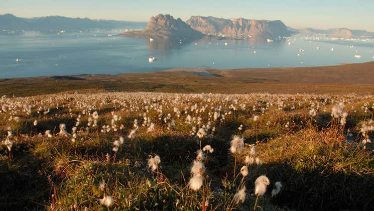 field of cotton in the foreground with the sea and icebergs in the background on a sunny day in the arctic