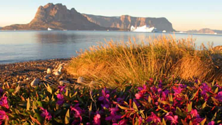 pink flowers and bushes in the foreground with the sea and icebergs in the background on a sunny day in the arctic