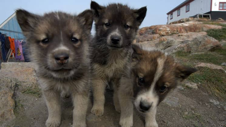 three arctic sled dog puppies stare into the lens
