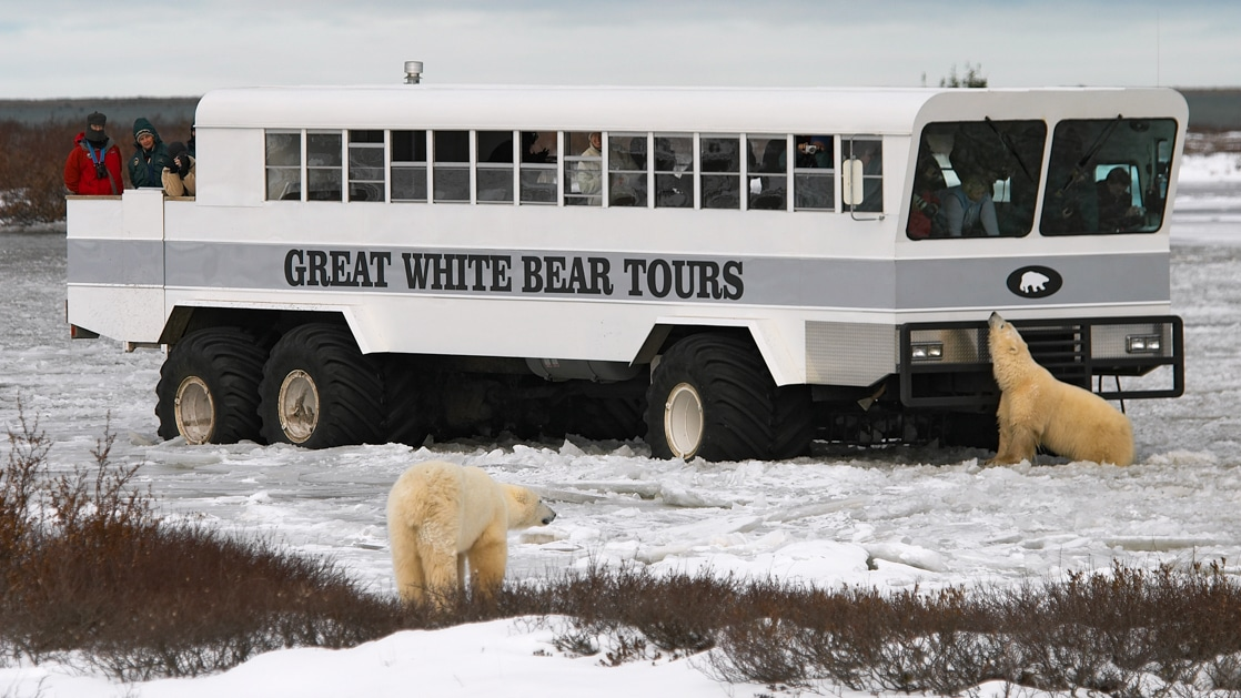 The Polar Rover vehicle taking Tundra Lodge guests on a polar bear sighting excursion on the snow with two polar bears next to it.