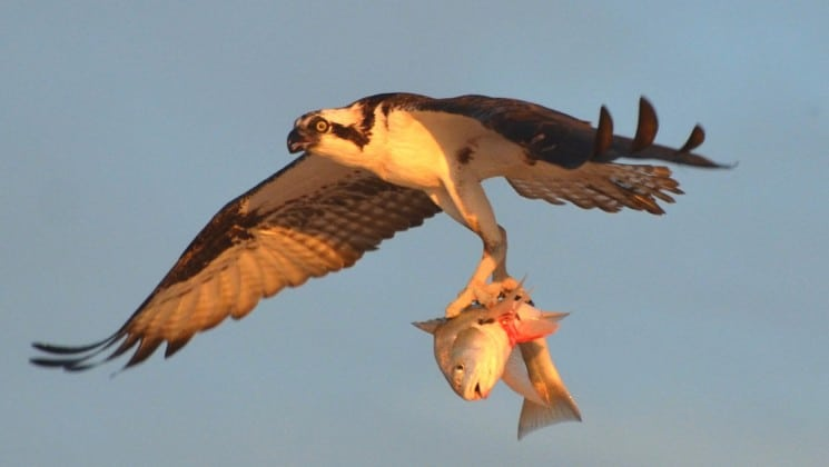 hawk flying with fish in talons above the sea of cortez in baja
