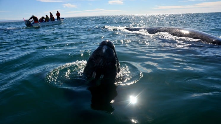 whales and skiff beside westward voyages in the sea of cortez small ship cruise in baja