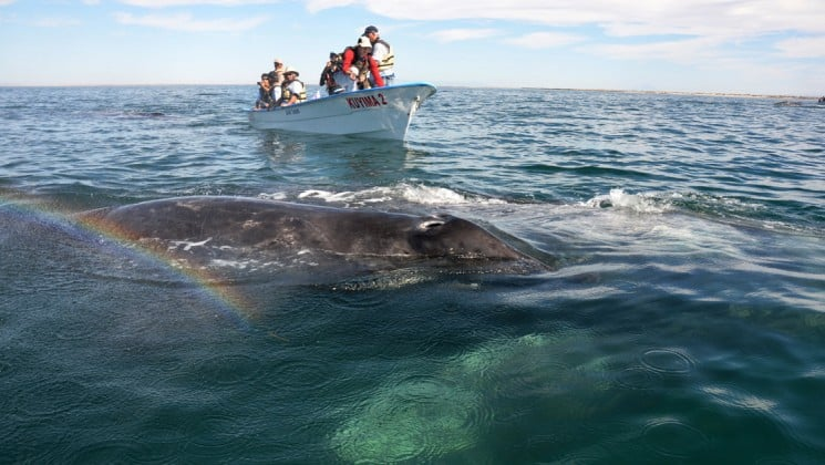skiff near whale in sea of cortez in baja