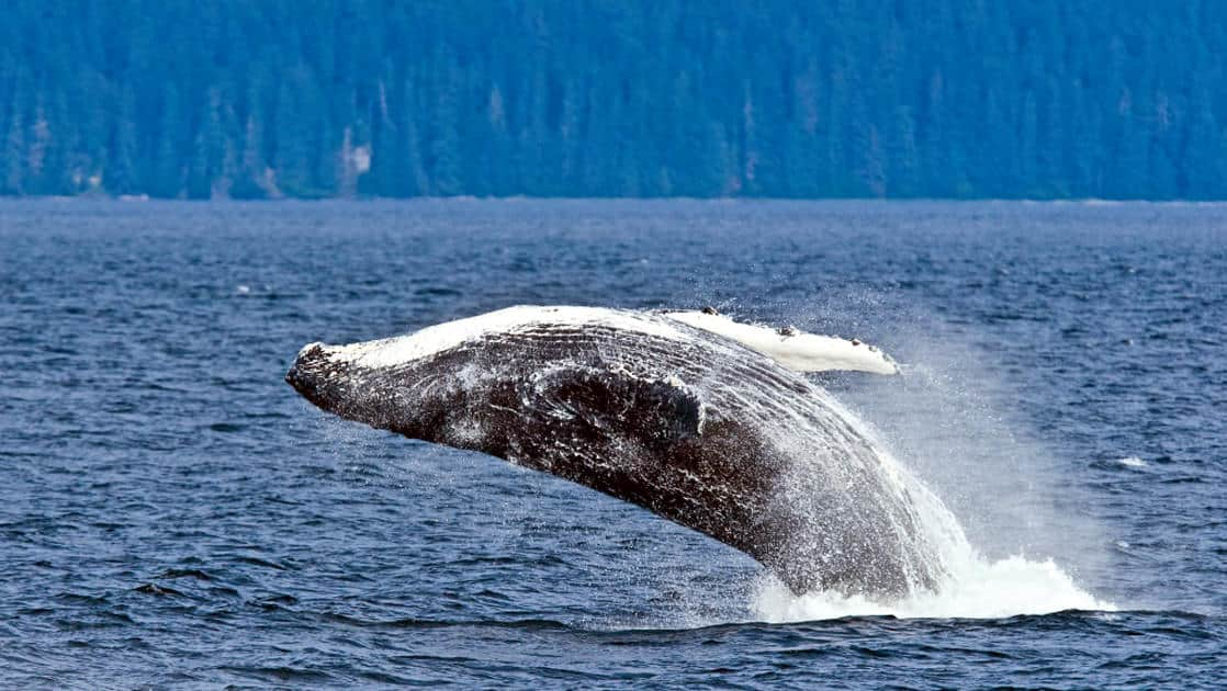 An adult humpback whale breaching out of the water in Alaska