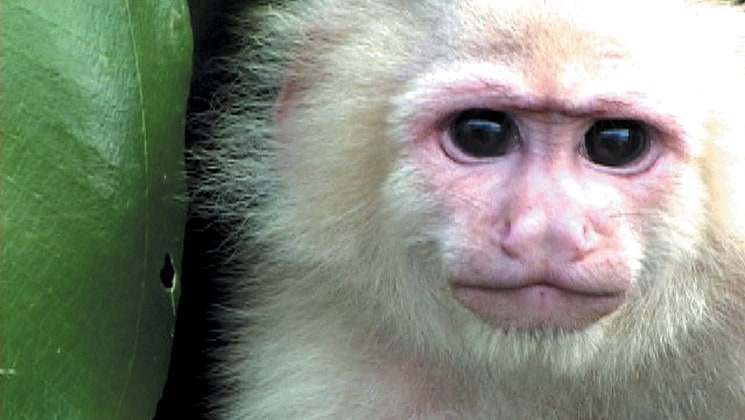 A white faced capuchin close up with white fur and big brown eyes.