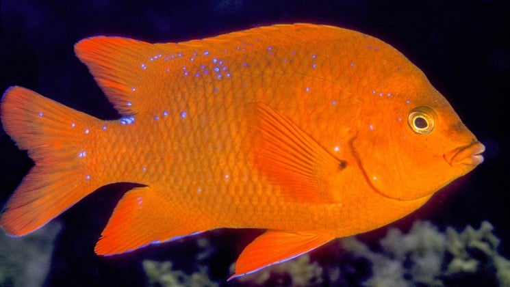 orange fish with blue spots seen on channel islands cruise