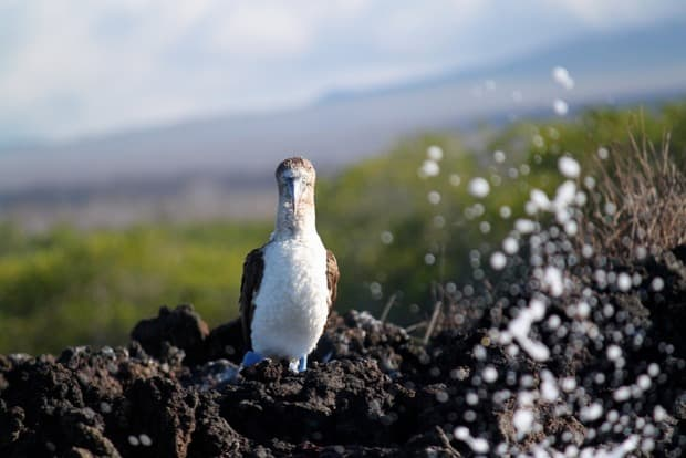 Blue footed booby on a rock in the Galapagos.