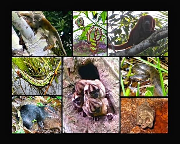 Collage of spider monkey, butterfly, howler monkey, caterpiller, marmosets, snake, night monkeys and guinea pig in the Amazon jungle.