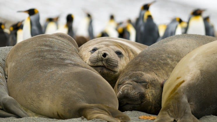 Elephant seals lounge together while king penguins march in the background in antarctica