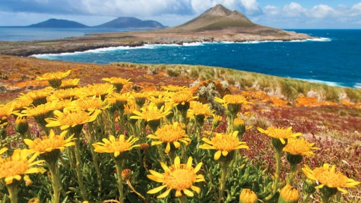 Yellow wildflowers on a field overlooking a bay with mountains in the background in south georgia and the falklands