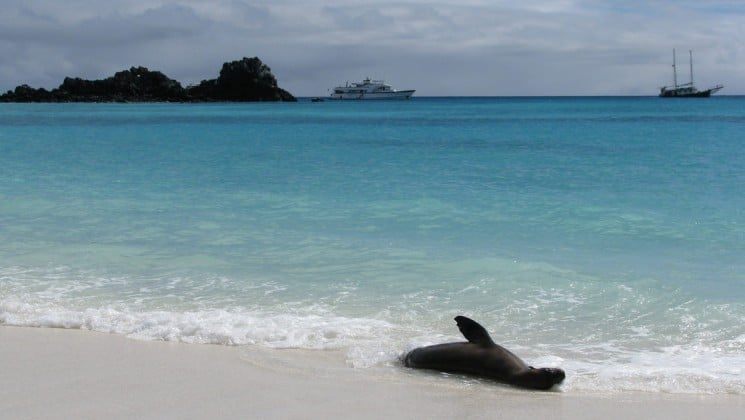 a sea lion plays in the surf and the white sand beach at the galapagos islands