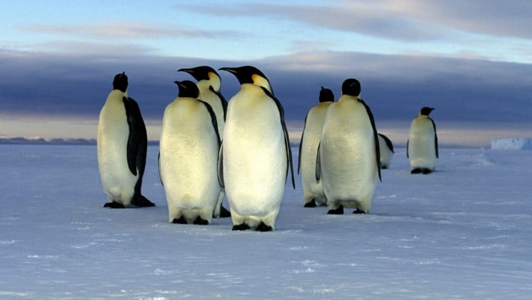 A group of penguins walk across the ice and snow in antarctica, as seen from the weddell sea voyage cruise