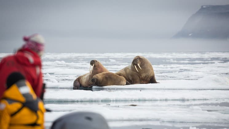 a group of walruses on sea ice while onlookers get a look from a nearby zodiac in the arctic circle