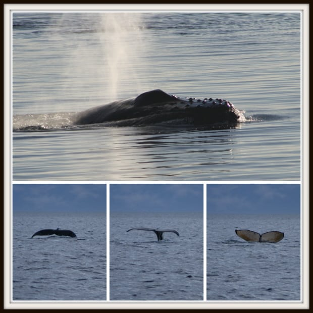 Humpback whale head swimming on top of the water, 3 views of a fluke of a humpback whale.