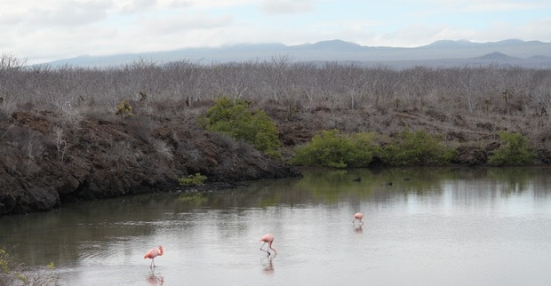 Three flamingos in the water seen from a small ship cruise in the Galapagos.