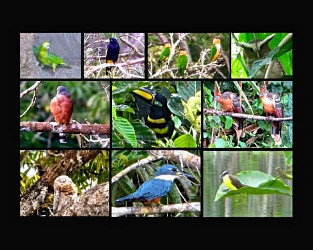 Several varieties of birds in the Amazon jungle.