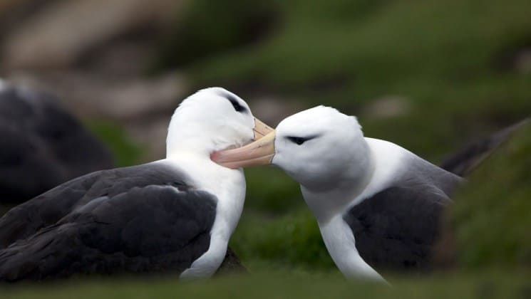 Two albatross nuzzle each other, as seen on an expedition to falklands, south georgia, and antarctica