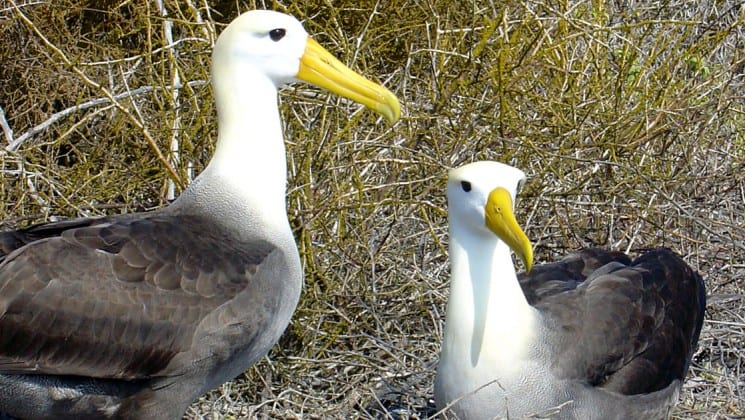 A pair of albatross birds, with white heads, yellow beaks, and grey feathers on their backs, look up in front of tall grass on the Galapagos Islands