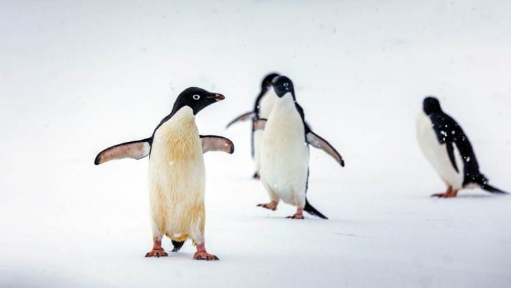 Three penguins waddle on the snow in antarctica