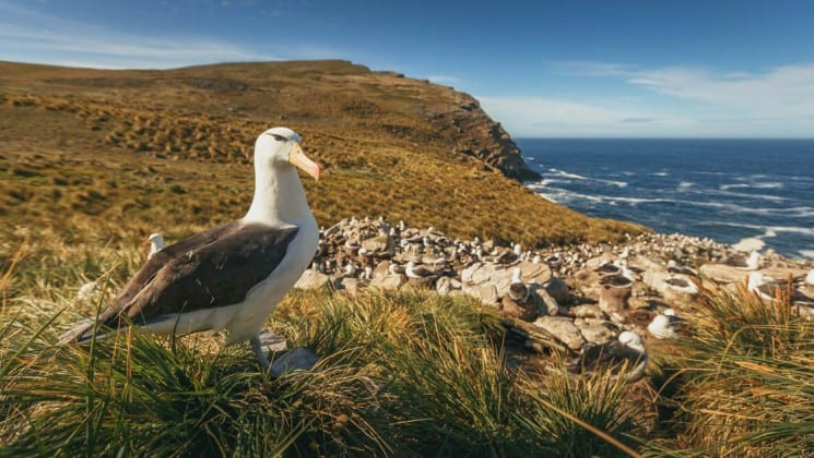 An albatross bird stands on a grassy hill above the ocean shoreline, as seen on the explorers and kings expedition cruise to antarctica