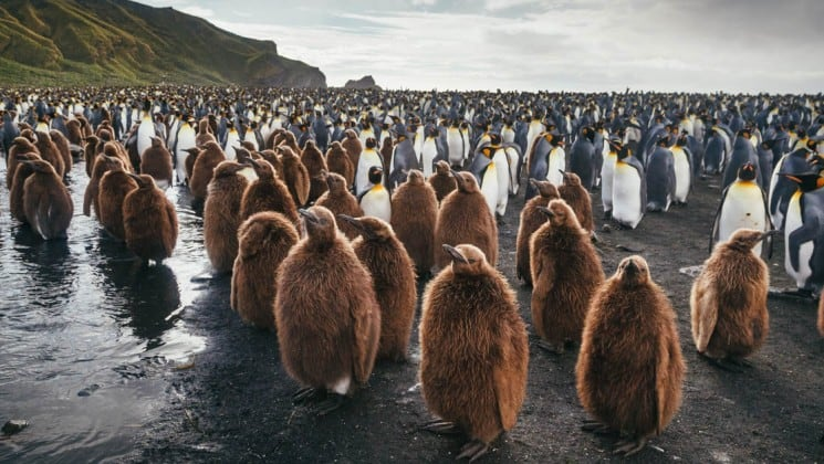 Brown penguins stand in a group in front of black and white penguins on the emperors and kings cruise to antarctica