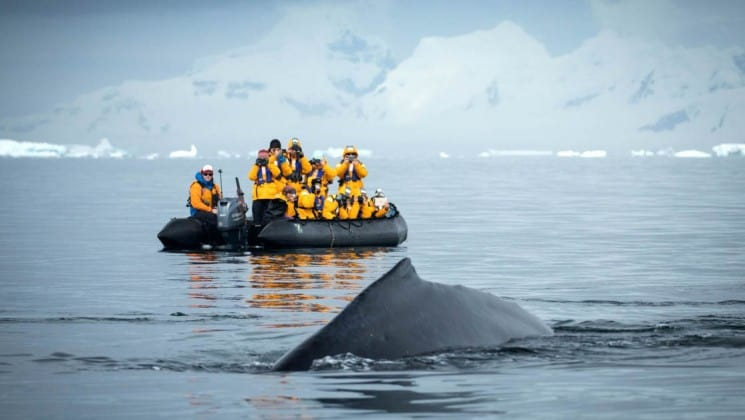 A humpback whale breaches the ocean surface just in front of a zodiac boat with icebergs in the distance in antarctica