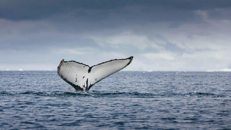 A whale's tail is in the air just above the ocean's surface, with a cloudy sky in the background, as seen from crossing the antarctic circle cruise ship