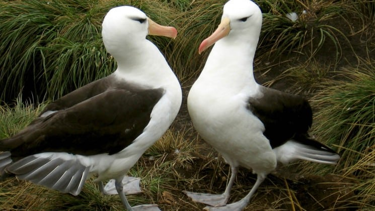 Two albatross birds, as seen on an expedition to antarctica, falklands, and south georgia