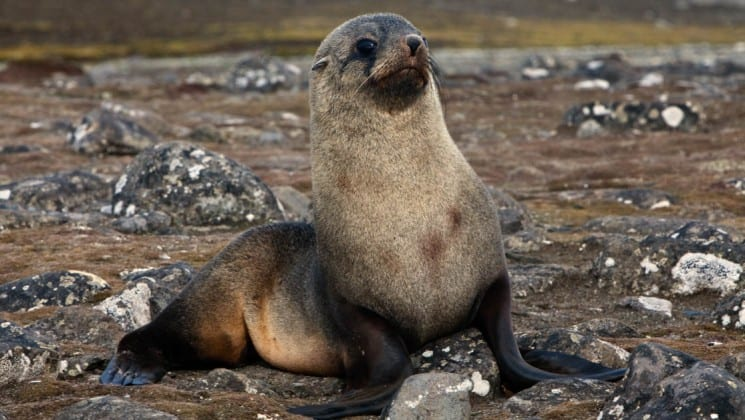 A fur seal stands on a beach on Aitcho island in antarctica, as seen from the spirit of shackleton expedition cruise