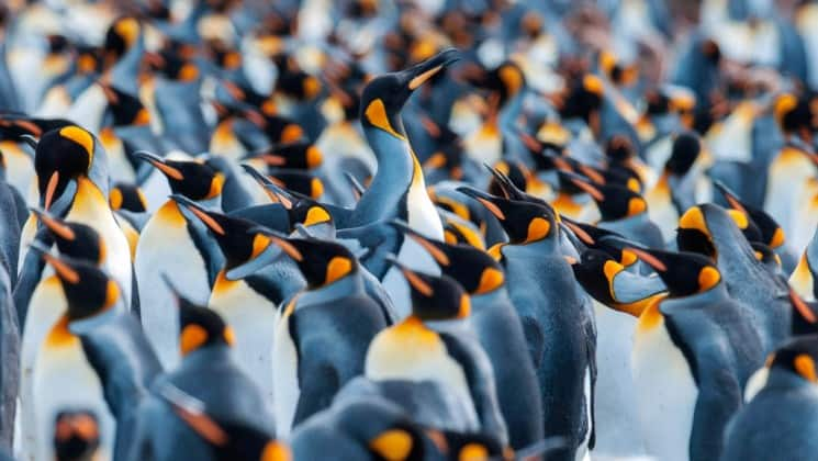 A rookery of penguins in Antarctica, as seen with the spirit of shackleton aboard expedition cruise