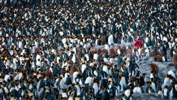 One person with a camera is surrounded by penguins in Antarctica