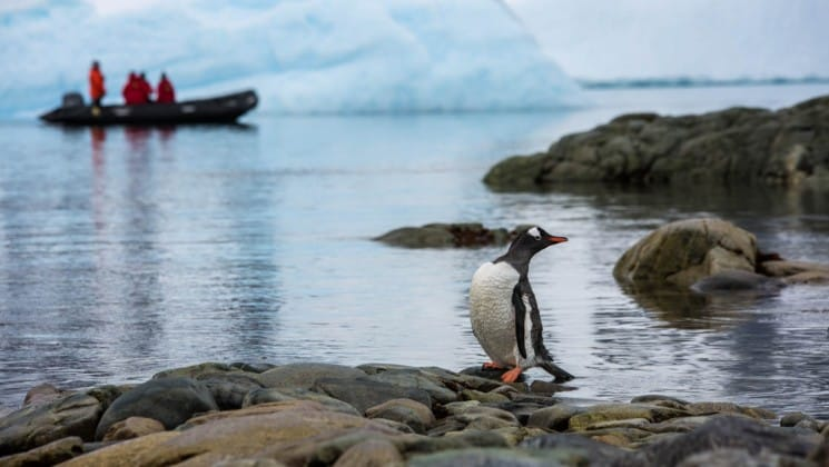a penguin stands on rocks with a zodiac boat in the background motoring from the spirit of shackleton expedition cruise ship in antarctica