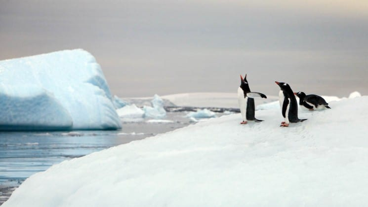 Part of the quest to the antarctic circle, penguins screech and flock on an iceberg with the ocean in the background