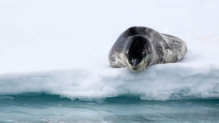 A leopard seal lies on the edge of the ice, just above the ocean, as seen from the crossing the antarctic circle cruise ship