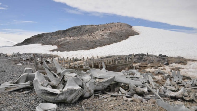 Bones are cast on a rocky beach with a snow-capped mound in the distance, as seen from crossing the antarctic circle cruise