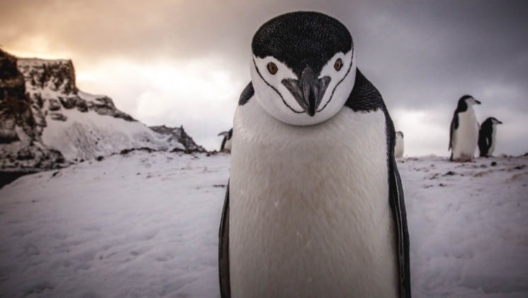 A penguin stares straight into the camera while the sky fades to pink at dusk in antarctica in the background