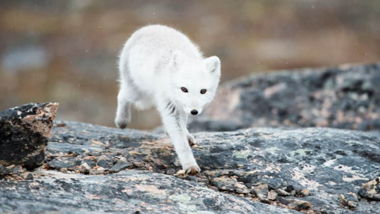 a white artic fox walks across a rock in east greenland
