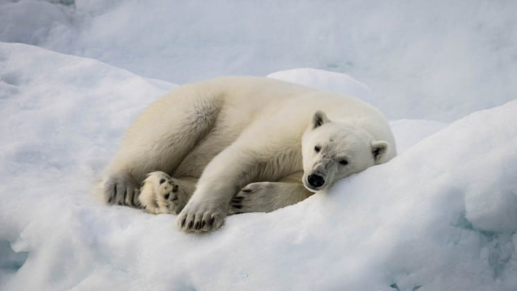 a polar bear lies down on its side on the ice cap in the arctic