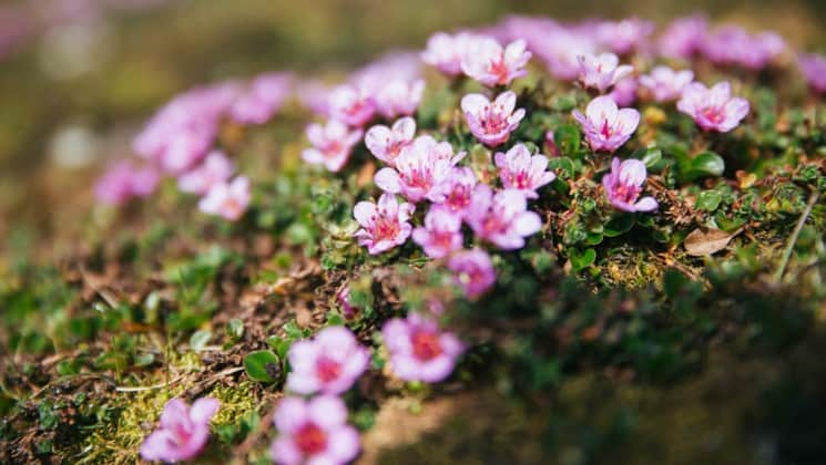 tundra wildflowers that are pink and white grow delicately on moss and rocks in the arctic circle