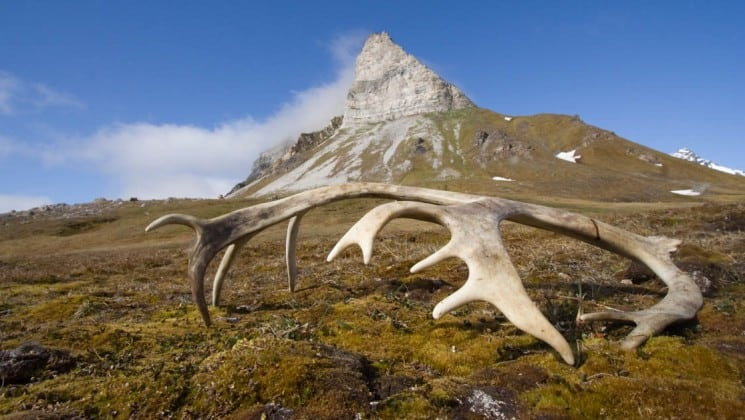 elk antlers are fallen on the ground on the tundra in the arctic circle with a rocky mountain in the background