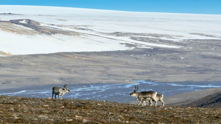 reindeer walk on the tundra in the arctic circle near spitsbergen