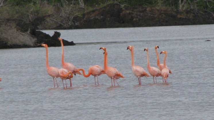 flamingos stand in still water at the galapagos islands