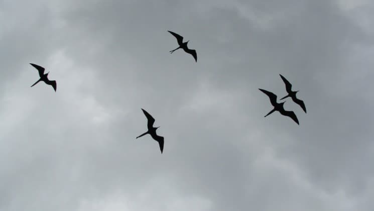 a flock of freigate birds are silhouetted against a cloudy sky at the galapagos islands