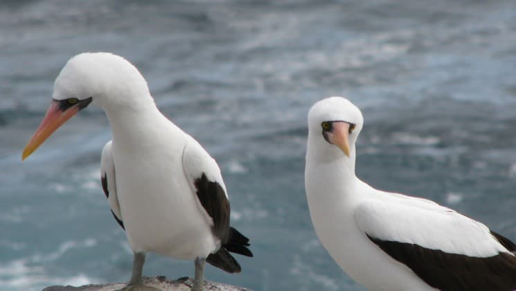 two boobies with white and grey feathers stand on rocks next to the ocean at the galapagos islands