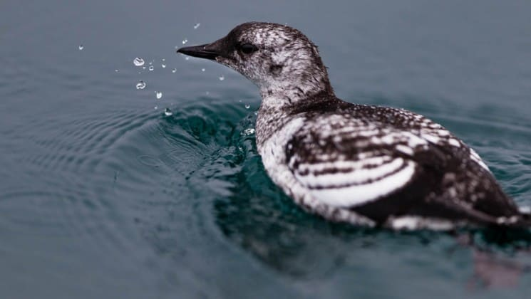 a black guillemot, a sea bird, floats on the ocean in the arctic circle near greenland