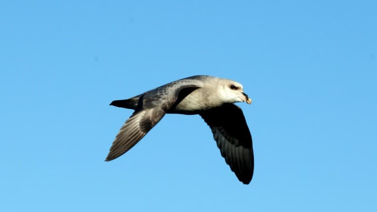 a seabird flies against a blue sky in the arctic circle and greenland
