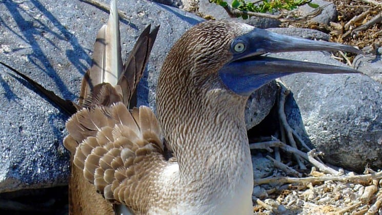 a close up photo of a blue footed boobie with chick at the galapagos islands