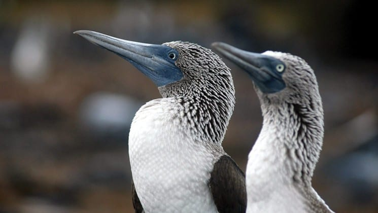 A close-up photo of the heads of two birds at the Galapagos Islands.