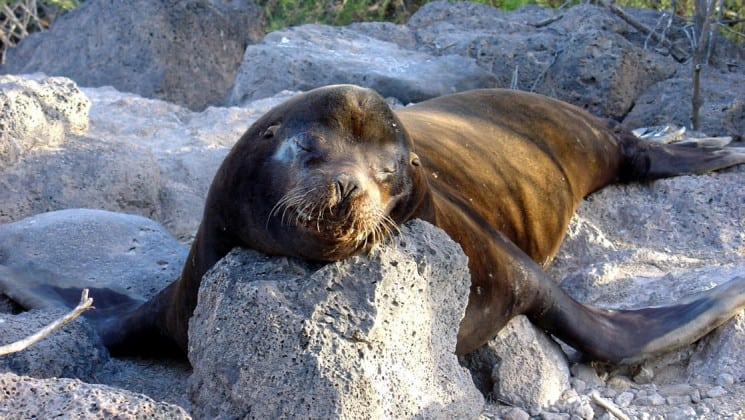 a sea lion bull rests its head on a rock at the Galapagos islands
