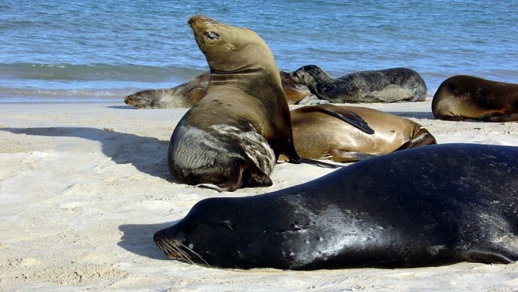 Sea lions rest on a white sand beach next to the ocean at the Galapagos Islands